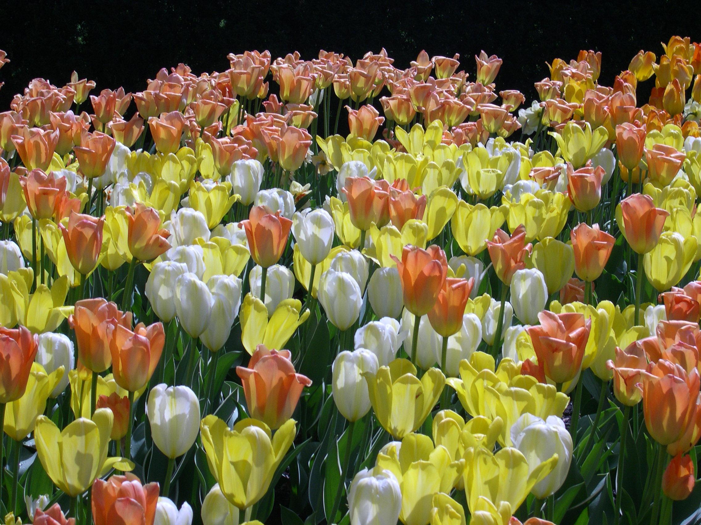 Dags att plantera blomsterlök!