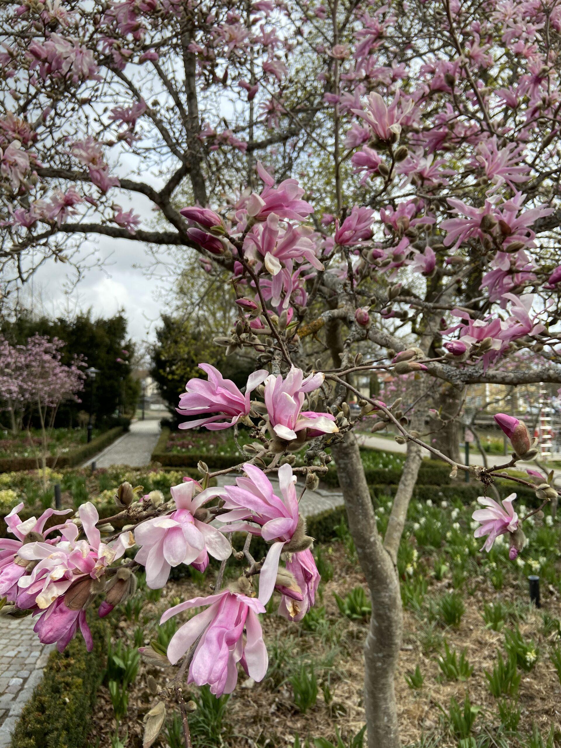 Nu blommar Magnoliorna i Enköping!